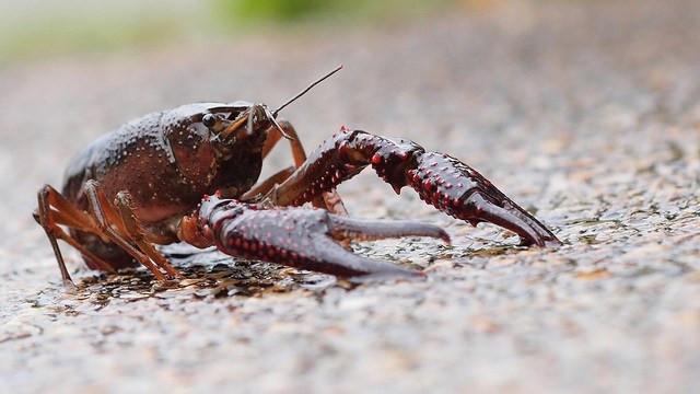AK: Are invasive Kodiak crawdads eating their salmon neighbors' babies?
