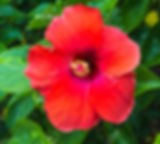 73616540-macro-de-la-chine-rouge-rose-fl