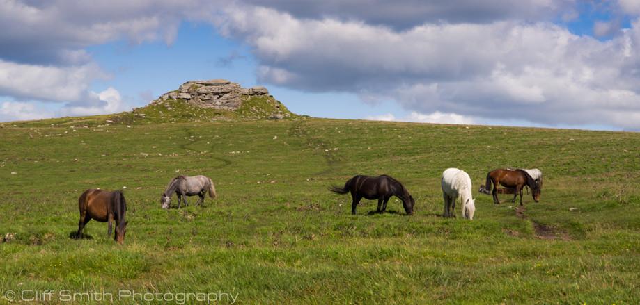 Dartmoor ponies 01
