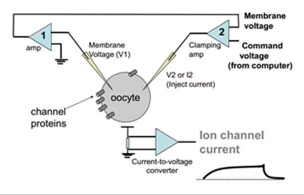 Voltage-clamp electrophysiology