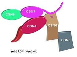 COP9 Signalosome