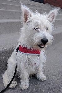 West Highland Terrier Dave Walking
