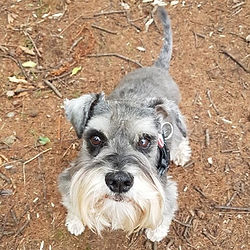 schnauzer boarding home from home