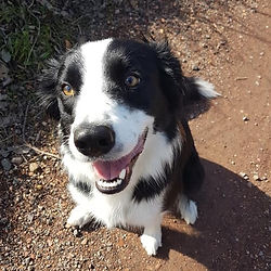 border collie smile dog walk walker doggy puppy pupper musslburgh east lothian