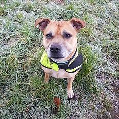staffie rescue staffordshire bull terrier