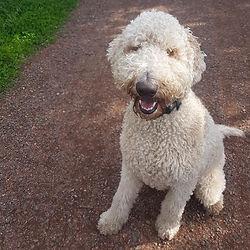 labradoodle mix smiling dog