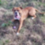 DOG WALKER musselburgh boxer solo walk