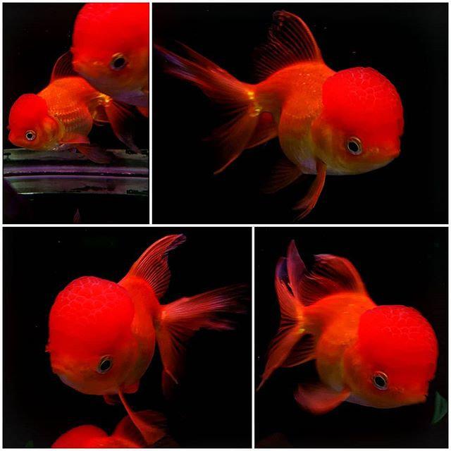 Big Head Thai Oranda Goldfish