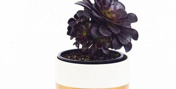 AEONIUM BLACK ROSE 6in
