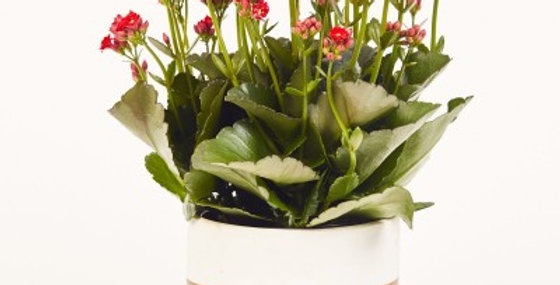 KALANCHOE 2in