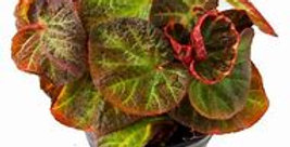BEGONIA STRAWBERRY 4in