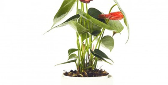 ANTHURIUM FLOWERING 6in