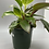 Thumbnail: PHILODENDRON BIRKIN 6in