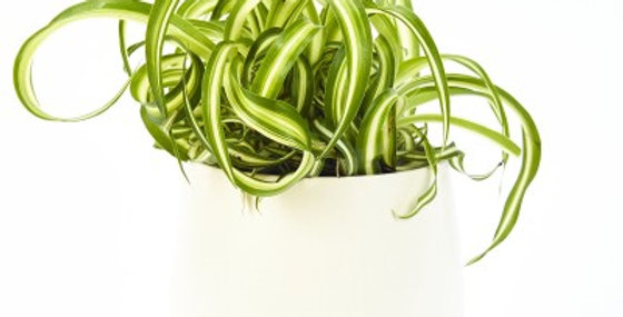 SPIDER PLANT 4in