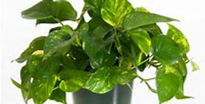 GOLDEN POTHOS 4in