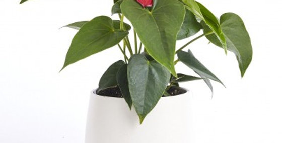 ANTHURIUM FLOWERING RED 6in