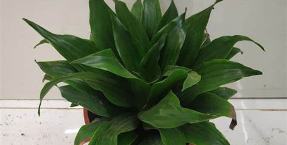 DRACAENA JC COMPACTA 4in