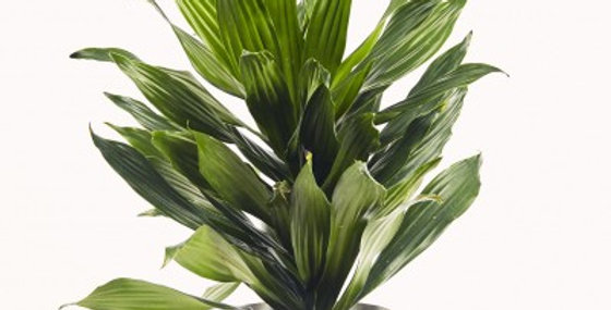 DRACAENA GREEN JEWEL TWISTER 10in