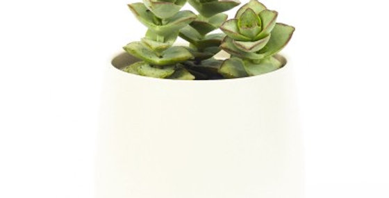 CRASSULA STRING OF BUTTONS 4in