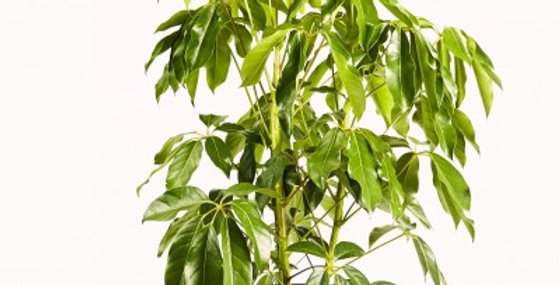 SCHEFFLERA AMATE 8in