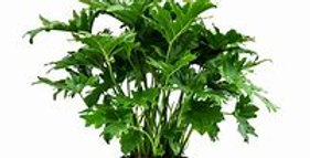 PHILODENDRON SELLOUM 14in