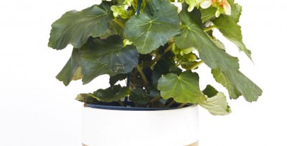 RIEGER BEGONIA 4in