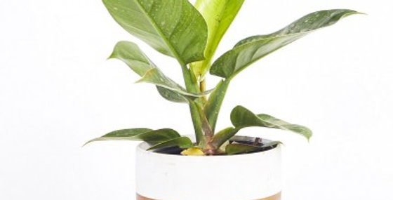 PHILODENDRON IMPERIAL GREEN 6in
