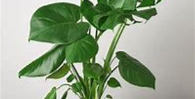 PHILODENDRON MONSTERA 6in