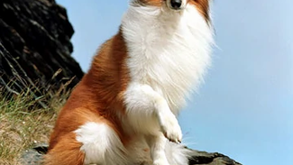 Covid Mental Health Challenge #10- Your pet can literally save your life, just like Lassie here.