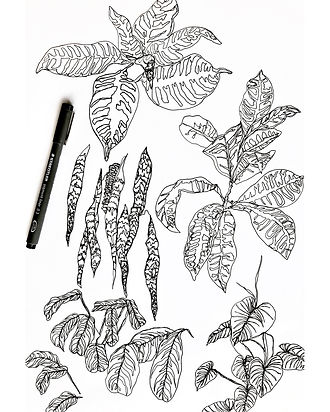Fineliner botanical drawings - Copy.JPG