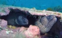 North Carolina Eels
