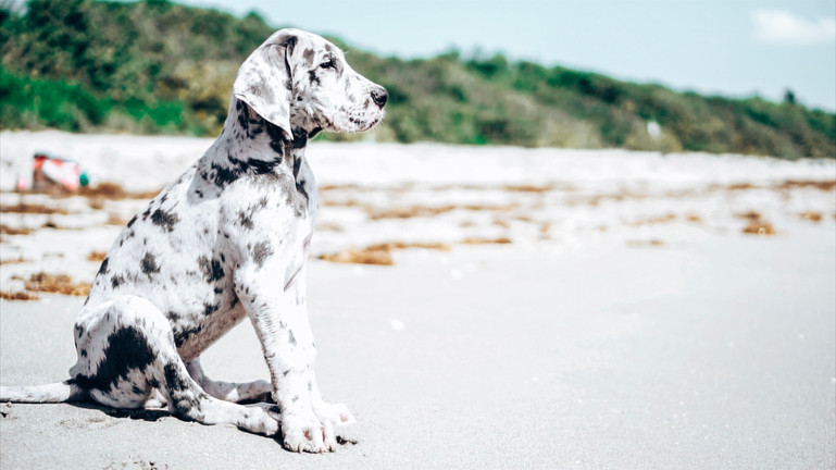great dane puppy loves the ocean at the pet friendly dog beach in Jupiter Florida