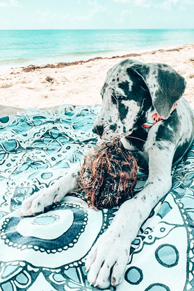 great dane puppy found a coconut at the pet friendly dog beach in Jupiter Florida