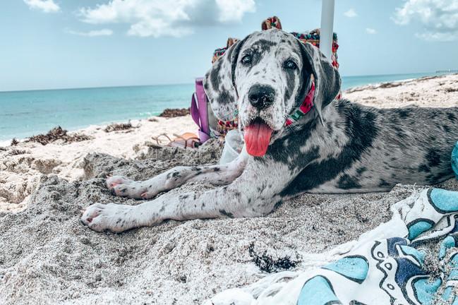 great dane puppy at the pet friendly dog beach in Jupiter Florida