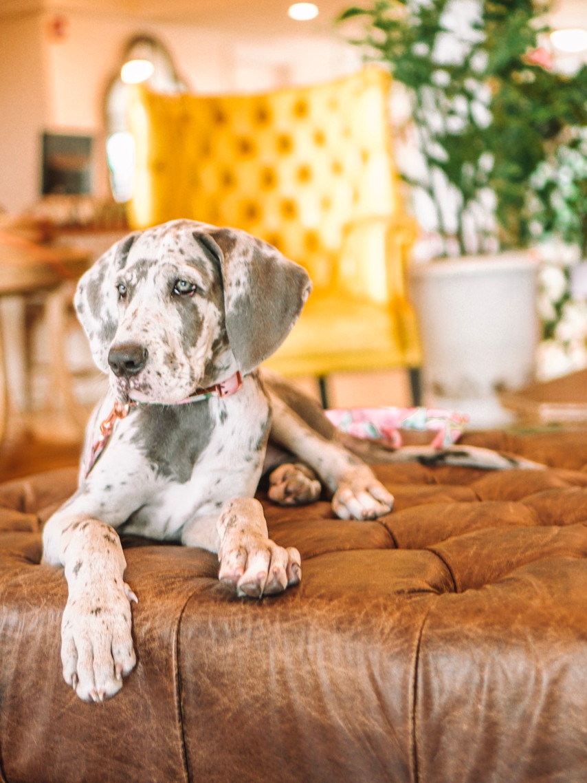 Havana Cabana Key West Florida Pet Friendly Resort colorful lobby with comfy seating great dane