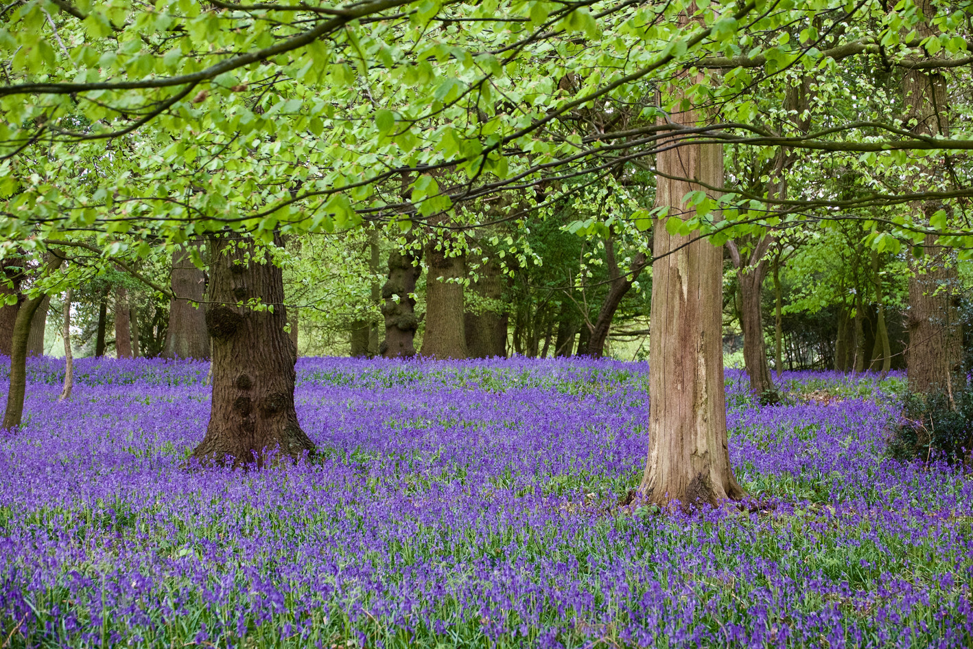 Bluebells in abundance