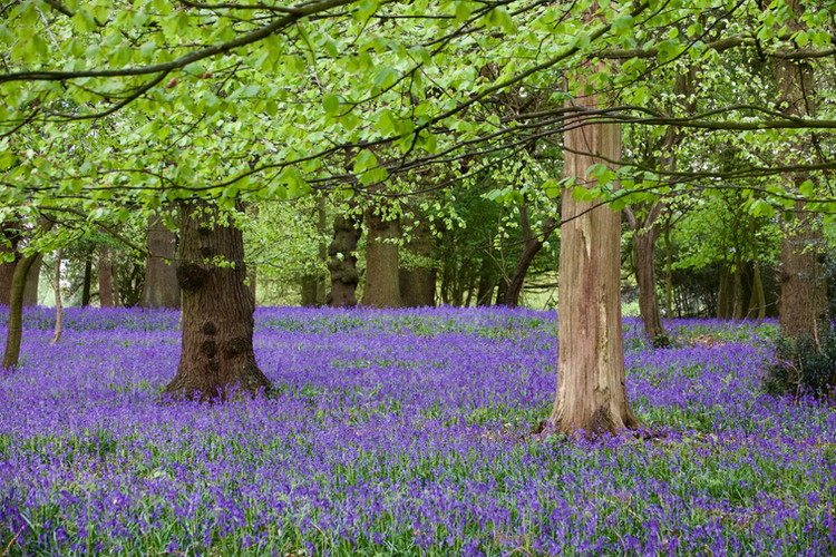 Bluebells in abundance