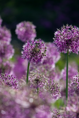 Purple Alliums