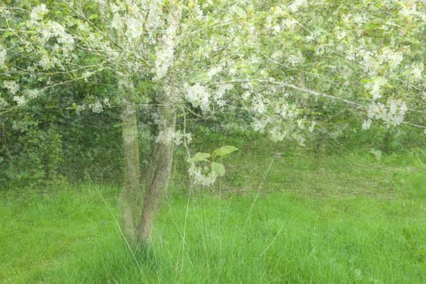 Fruit Blossom - Purdeys Orchard