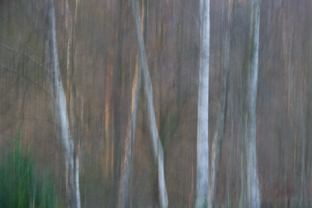 Silver birch at sunset