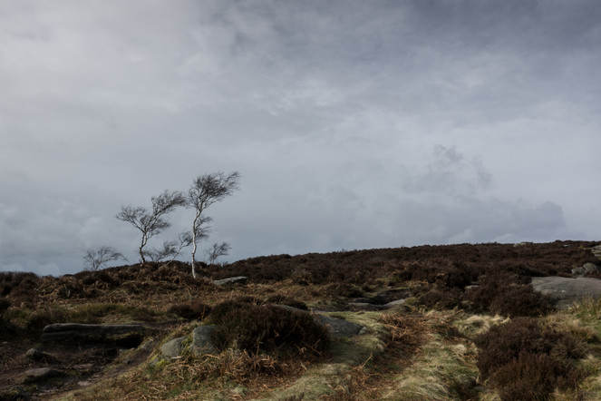 Birches amongst the heather