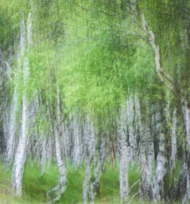Bolehill Quarry Birch 03