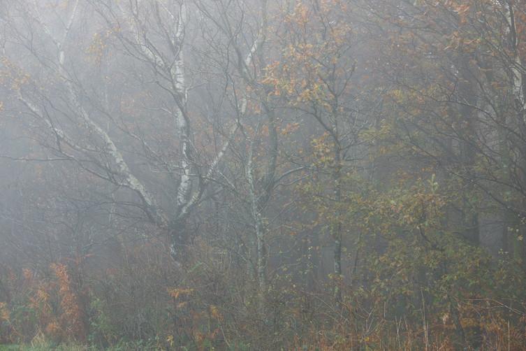 Misty silver birch