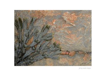 Seaweed on Rock 001