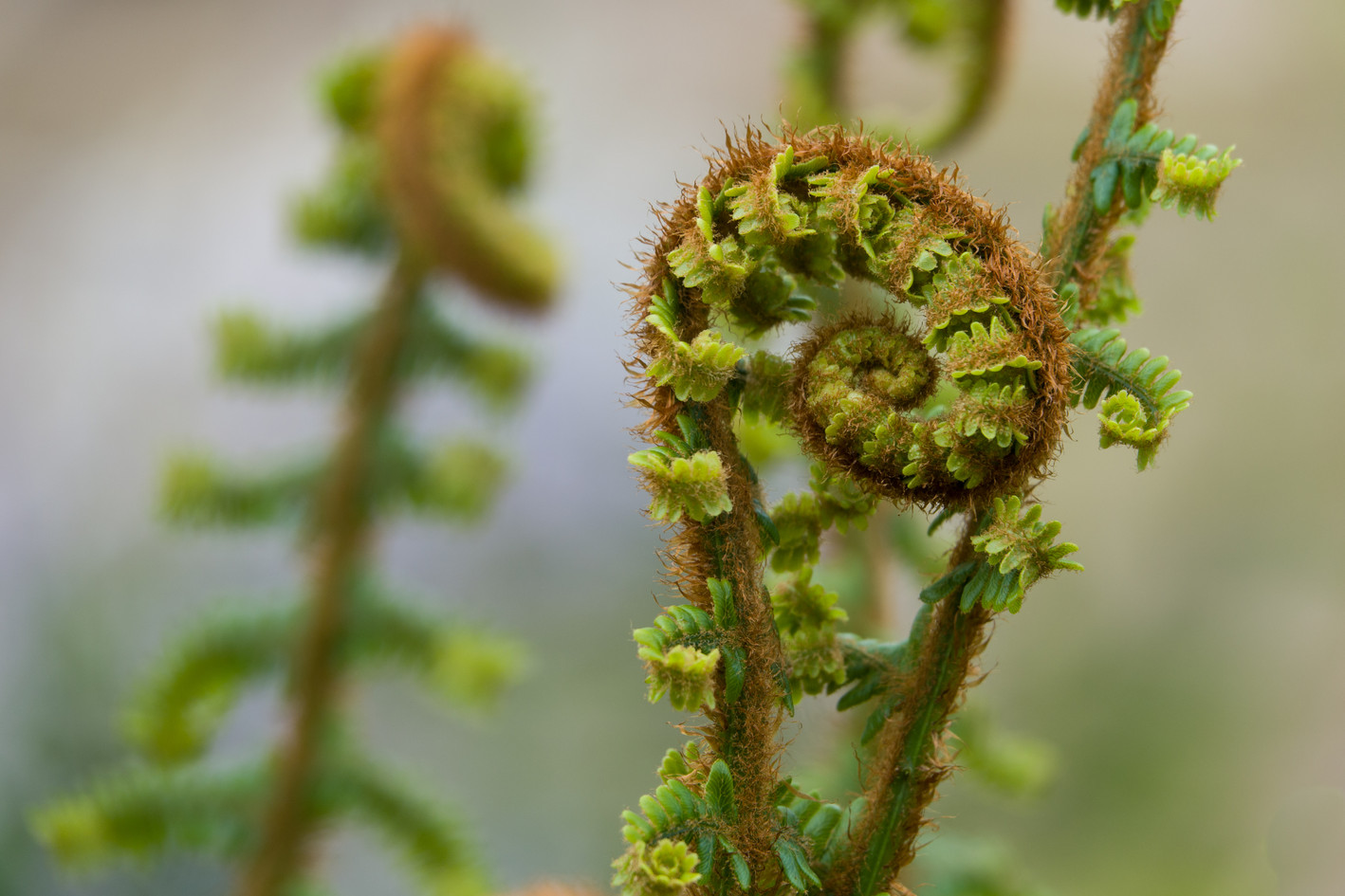 Unfurling fern