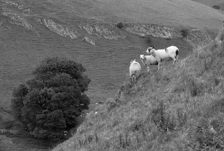 Parkhouse Hill Sheep