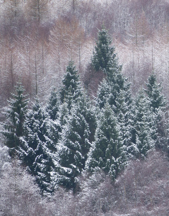 Dusted Christmas trees