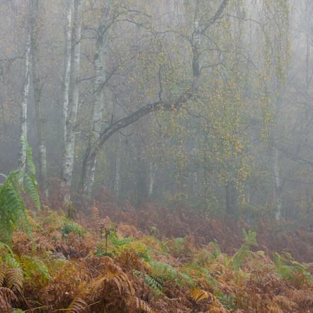 Silver birch in mist and bracken