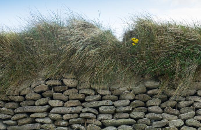 Ragwort - a single flowerhead amongst the dunes
