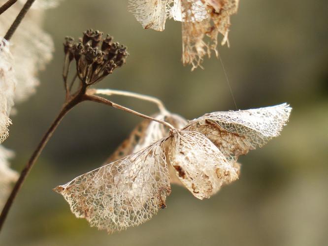 Lacey petals